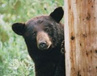Ban Trade of Black Bear Organs