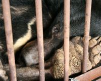 Tell China's Prime Minister: Stop Bear Bile Farming!