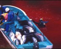 URGENT! Help Stop the Japanese Dolphin Slaughter