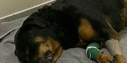 Demand Justice for Rocki, the Rotti left to suffer dying for 4 days with Bone Cancer by the DCO