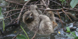 Protect Rare Pygmy Three-Toed Sloths in the Wild