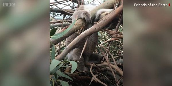 Koala in trees after site was bulldozed