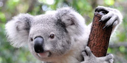 Save Koalas from Being Killed by Timber Plantations