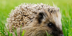 Protect Britain's Hedgehogs!