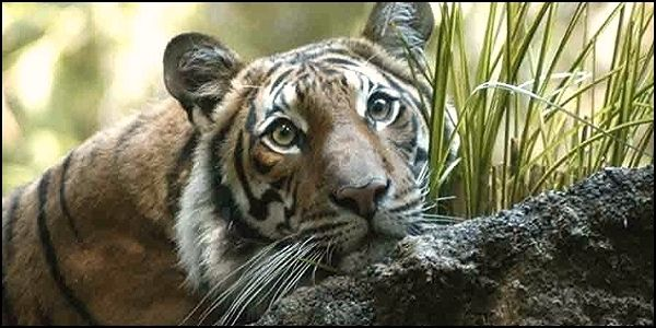 Save the Critically Endangered Indochinese Tiger from Extinction