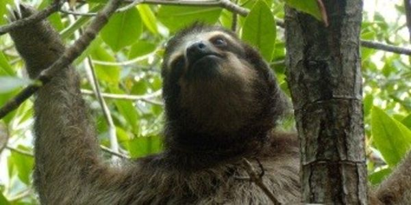 Give Pygmy Sloths Endangered Species Protection From Extinction