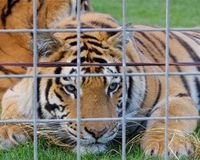 Revoke Circus Animal Handler's License After Illegal Tiger Exhibition