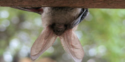 Tell the FWS to Protect Vulnerable Bat Populations!