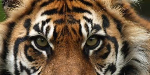 MORE PROTECTION FOR THE LAST WILD TIGERS OF SUMATRA