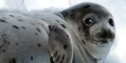 Stop the Canadian Seal Slaughter