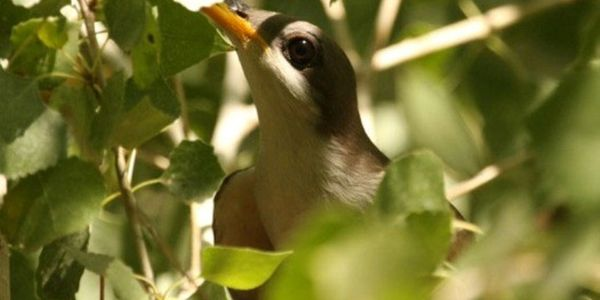 Ask Arizona; Take Steps to Protect Endangered Birds & Their Habitat