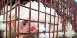 Extend Humane Slaughter Act to Cover All Mammals and Birds