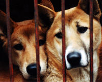 Stop the Torture and Consumption of Dogs in Korea