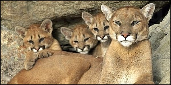 Stop Hunting Cougars with Hound Dogs in South Dakota