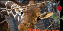 Justice for Marius the Giraffe: DEMAND that EAZA Change it's policies.