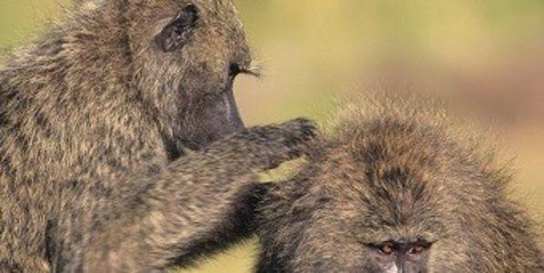 Save the Oklahoma University Baboons