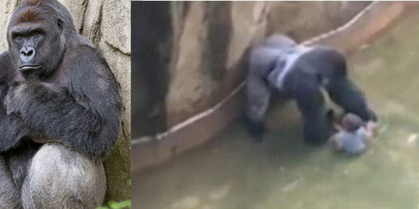 Ask the Cincinnati Zoo to let their Gorillas go to a Sanctuary