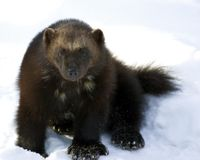 Rare wolverines closer to getting long-awaited federal protections