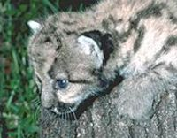 Please, help save the Florida Panther!