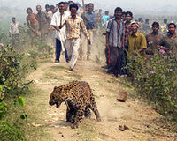 Save the leopard of India