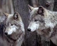 Please Extend California Endangered Species Act Protection to Gray Wolves