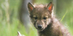 NO Wolf Slaughter in Michigan