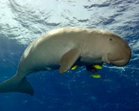 Help Save Okinawa Dugong And Coral Reef Ecosystem