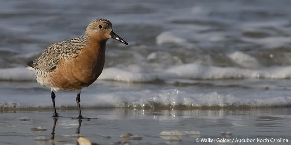 Add Your Voice to Protect the Red Knot from Extinction