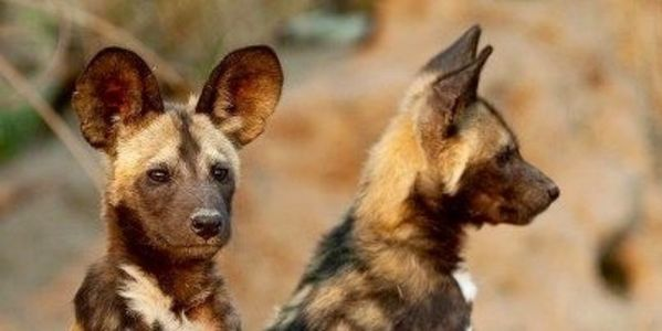 SAVE AFRICAN WILD DOG, LICAON PICTUS IS NEAR TO EXTINCTION.