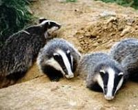 Save British Badgers from Massive Cull