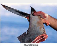 No Permits for Shark Finning