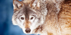US Government: Stop Killing 227 Coyotes a Day!