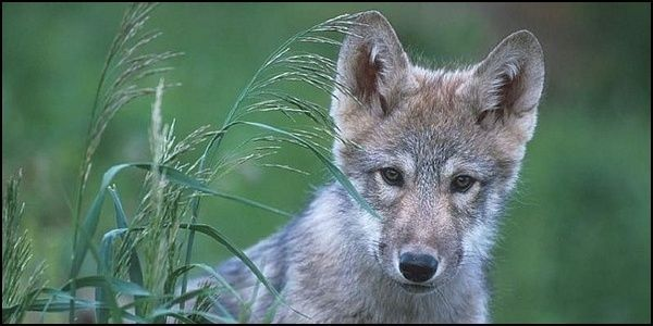 Justice for Wolf Killed in Kentucky