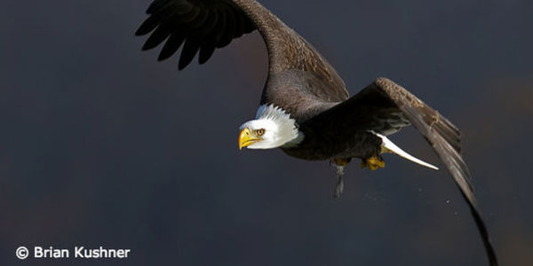 Protect America's Eagles