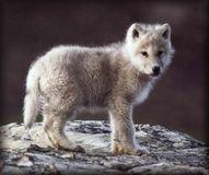stop wolf hunding