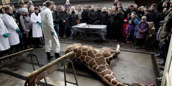 Fire Bengt Holst as Copenhagen zoo director for killing Marius !