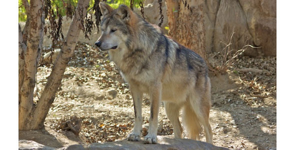 Fire Federal Employee for Killing Endangered Mexican Wolf