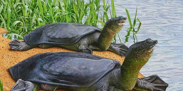 World's Largest Freshwater Turtle, the Yangtze Softshell Turtle Almost Extinct