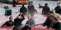 The killing of dolphins in Denmark.