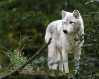 Montana, Stop the Gut and Spine shooting of wolves