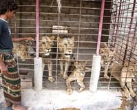 Stop Lion Farming in Yemen