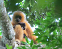 BEAUTIFUL HAINAN GIBBONS ENDANGERED DUE TO DEFORESTIGATION