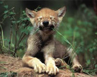 Stop Livestock Grazing in Wolf Recovery Area