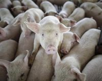 stop unethical treatment of commercial farm animals