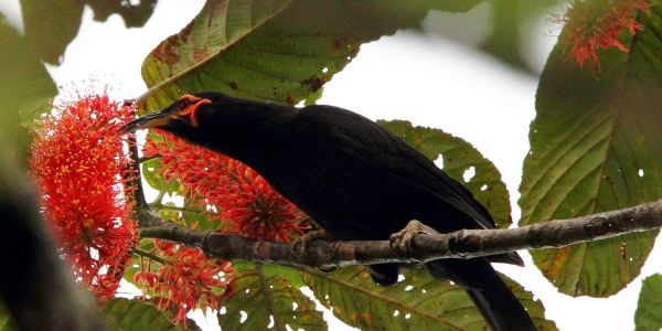 Please Urge the French Governmnet to Protect The Crow Honeyeater