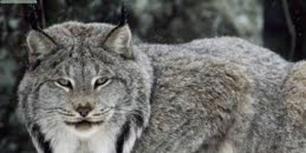 Save Rare Canada Lynx from Illegal Trapping