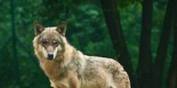 Save Alberta's Wolves From Bounty Hunters!