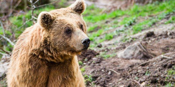 Stop the Slaughter of Kenai Brown Bears
