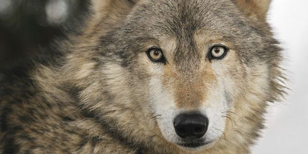 End the Slaughter of Our Precious Wolves