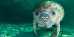 Give Manatees a Real Sanctuary